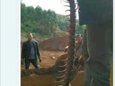 四川惊现一米长巨型蜈蚣 蜈蚣型战争