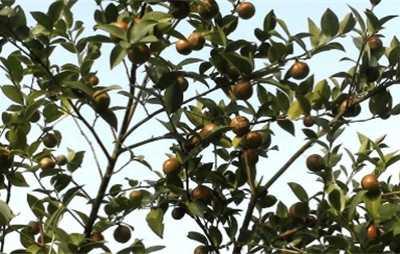 油茶的养殖方法及注意事项 油茶花