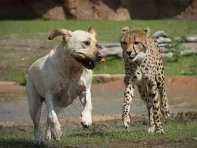 一只被狗养大的小豹子 养豹子当宠物有危险吗